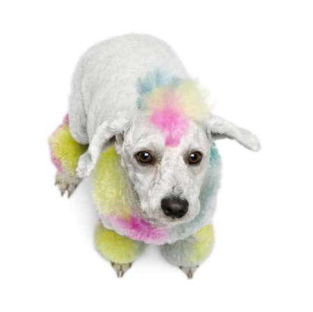 Poodle with multi-colored hair, 12 months old, sitting in front of white background photo