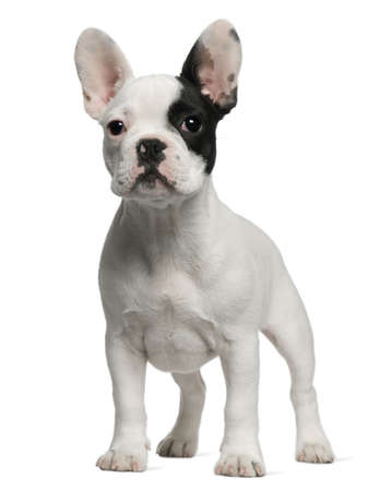 french bulldog puppy: French Bulldog puppy, 3 months old, standing in front of white background