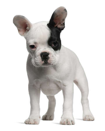 French Bulldog puppy, 3 months old, standing in front of white background photo