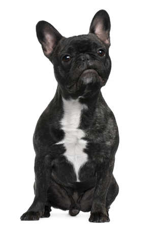 French Bulldog, 12 months old, sitting in front of white background photo