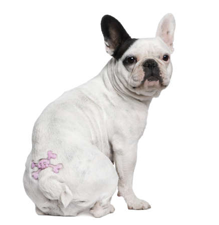 French Bulldog with tattoo sitting in front of white background photo
