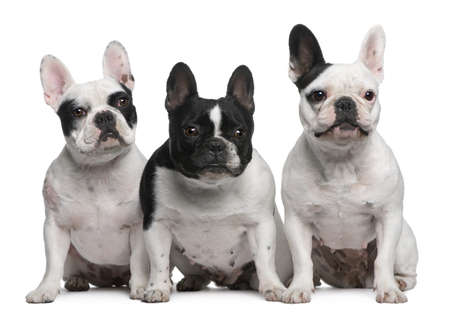 Group of French Bulldogs sitting in front of white background photo