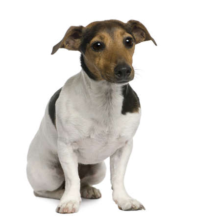 Jack Russell Terrier, 4 years old, sitting in front of white background photo