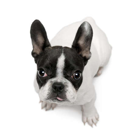 french bulldog: French Bulldog puppy, 4 months old, sitting in front of white background