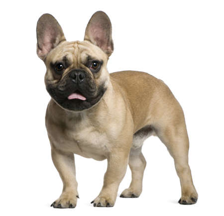 bulldog: French Bulldog puppy, 7 months old, standing in front of white background