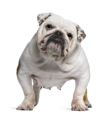 bulldog: Bulldog ingl�s, 5 a�os de edad, de pie delante de fondo blanco