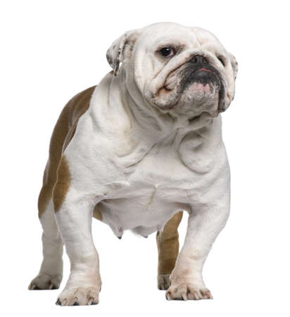 English Bulldog, 5 years old, standing in front of white background photo