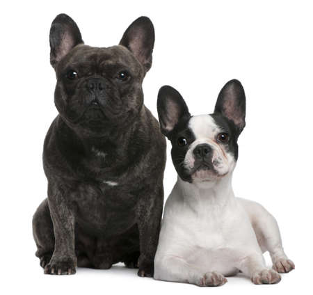 3 4 length: French Bulldogs, 4 and 3 years old, sitting and lying in front of white background