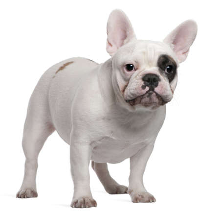 French bulldog, 12 months old, standing in front of white background photo