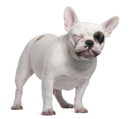 French bulldog closing its eyes, 12 months old, standing in front of white background photo
