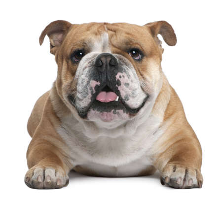 English Bulldog, 18 months old, lying in front of white background photo