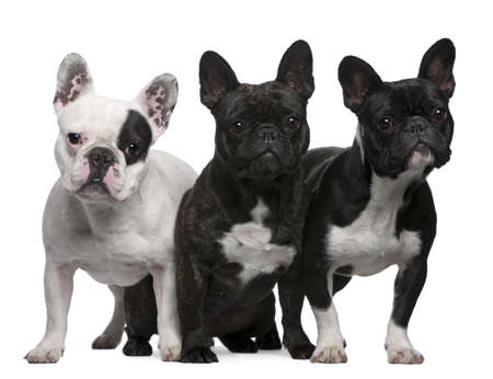 French Bulldogs, 11 months old, 3 and 6 years old, sitting and standing in front of white background photo