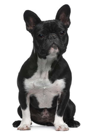 French Bulldog, 11 months old, sitting in front of white background Stock Photo - 7251229