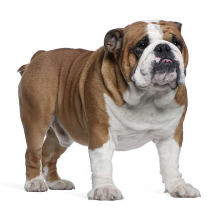 English Bulldog, 2 years old, standing in front of white background Stock Photo - 7251399
