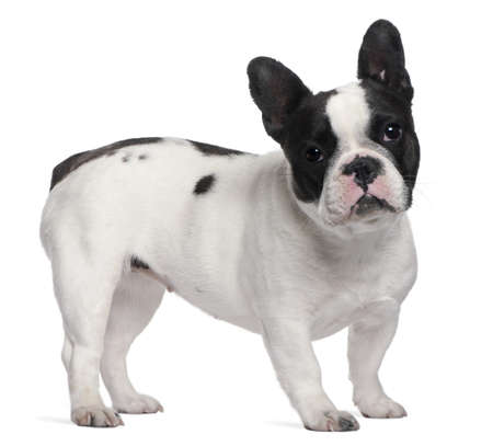 French Bulldog, 13 months old, standing in front of white background photo