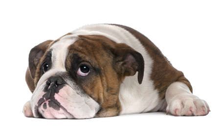lying in front: English Bulldog puppy, 4 months old, lying in front of white background