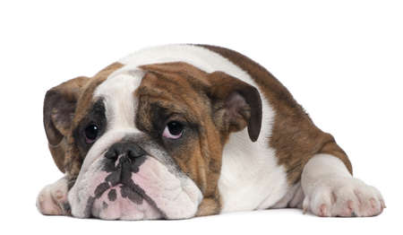 English Bulldog puppy, 4 months old, lying in front of white background photo