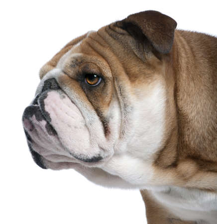 Close-up of English Bulldog, 18 months old, in front of white background photo