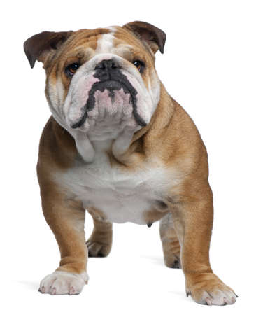 English Bulldog, 18 months old, standing in front of white background Stock Photo - 7251525
