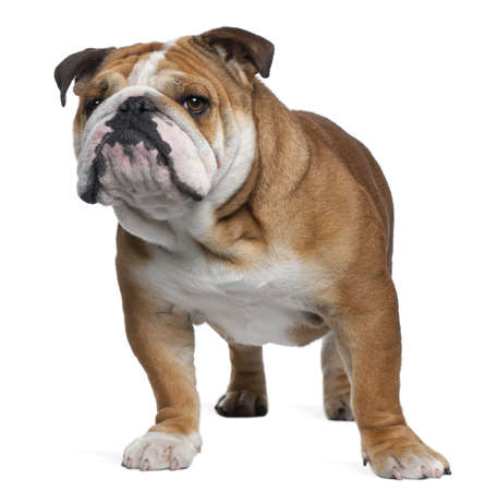English Bulldog, 18 months old, standing in front of white background photo