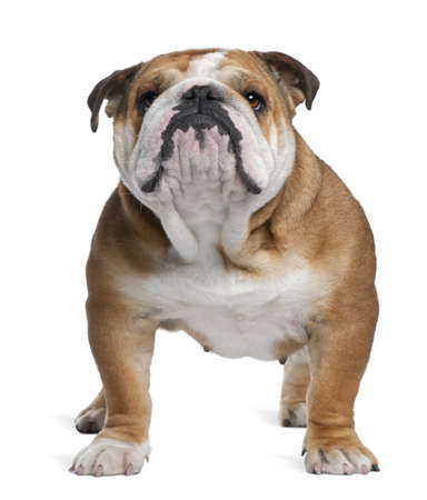 English Bulldog, 18 months old, standing in front of white background Stock Photo - 7251419