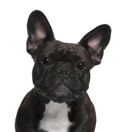 buldog: Close-up of bulldog franc�s, 18 meses de edad, en frente de fondo blanco  Foto de archivo