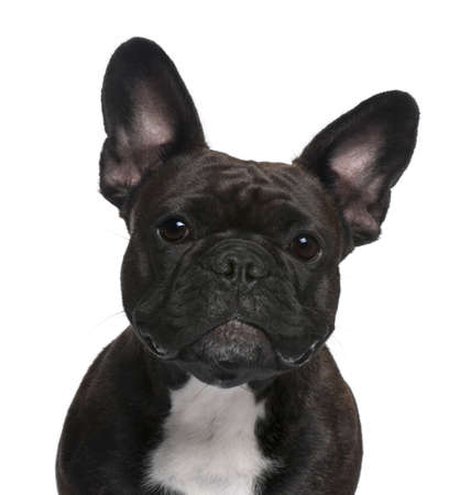 Close-up of French Bulldog, 18 months old, in front of white background photo
