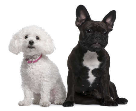 18: French Bulldog, 18 months old and Bichon Frise, 3 years old, sitting in front of white background Stock Photo