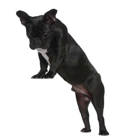 French Bulldog puppy, 7 months old, standing near red crate in front of white background photo