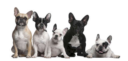 Group of French Bulldogs in front of white background photo