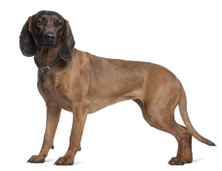 hounds: Bavarian Mountain Hound, 3 years old, standing in front of white background
