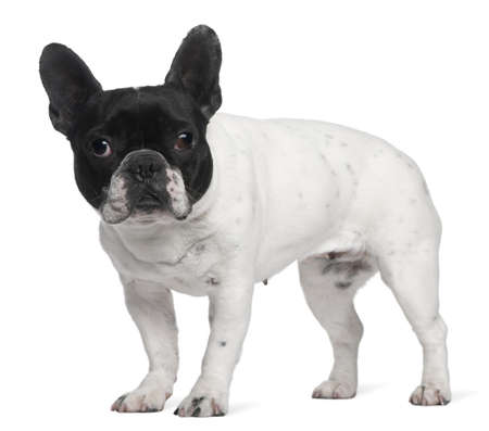 French Bulldog, 8 years old, standing in front of white background photo