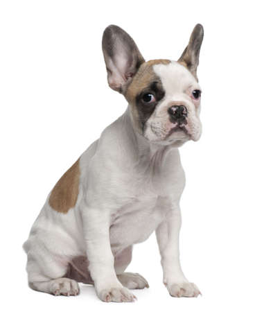 French Bulldog puppy, 3 months old, sitting in front of white background photo