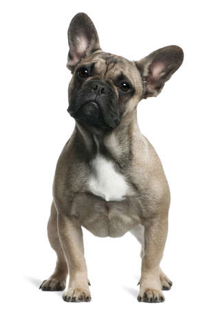 French Bulldog puppy, 8 months old, standing in front of white background Stock Photo - 7251409