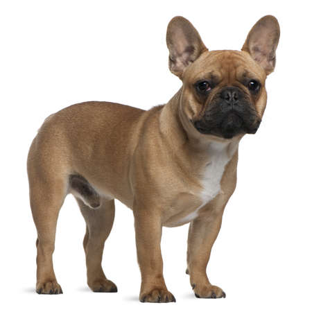 French Bulldog puppy, 7 months old, standing in front of white background Stock Photo - 7250613
