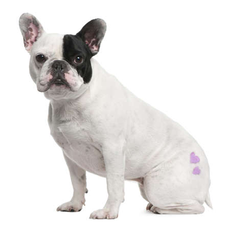 french bulldog: French Bulldog, 3 years old, with tattoo sitting in front of white background Stock Photo