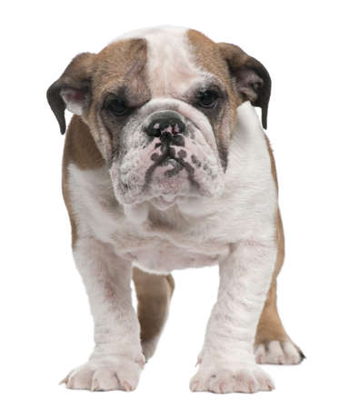 English Bulldog puppy, 4 months old, standing in front of white background photo