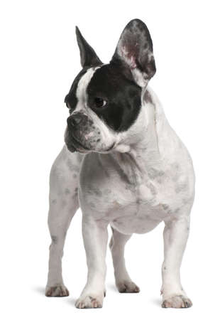 French Bulldog, 2 years old, standing in front of white background photo
