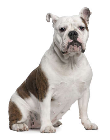 English Bulldog, 12 months old, sitting in front of white background photo