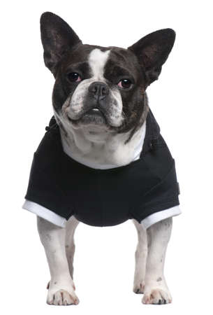French Bulldog, 4 years old, dressed in black top standing in front of white background photo