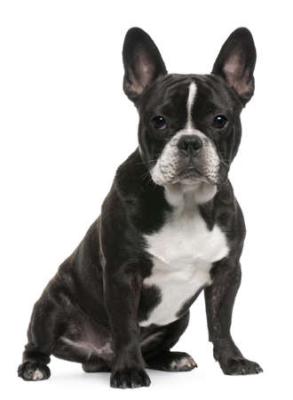 French Bulldog puppy, 8 months old, sitting in front of white background photo