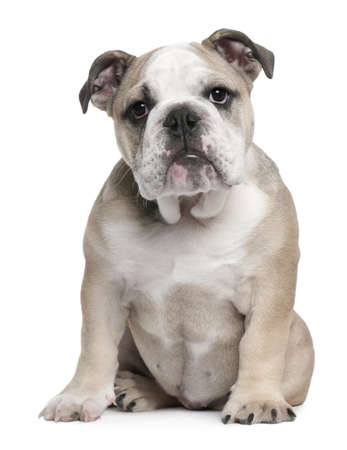 english bulldog puppy: English Bulldog puppy, 5 months old, sitting in front of white background