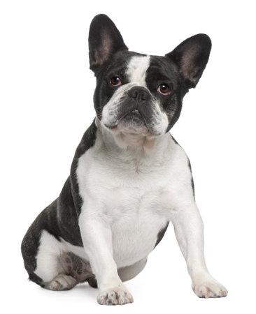 buldog: Franc�s Bulldog, 3 a�os de edad, sentado frente a fondo blanco