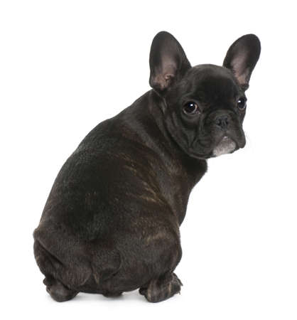 French Bulldog puppy, 4 months old, sitting in front of white background photo