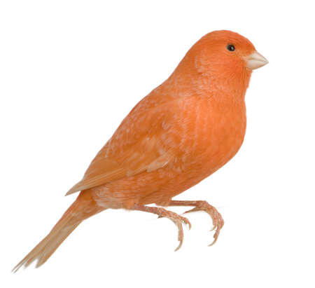 red canary: Red canary, Serinus canaria, perched in front of white background Stock Photo