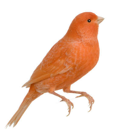 Red canary, Serinus canaria, perched in front of white background Stock Photo