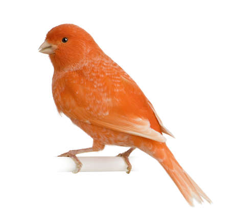 canaria: Red canary, Serinus canaria, perched in front of white background Stock Photo