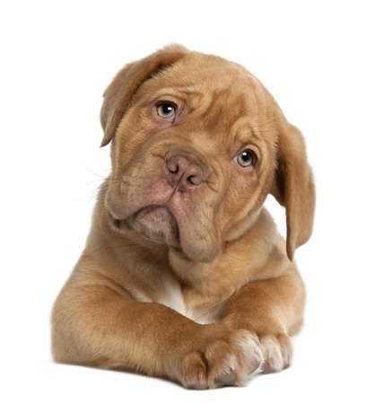 sad dog: Dogue de Bordeaux puppy, 10 weeks old, lying in front of white background