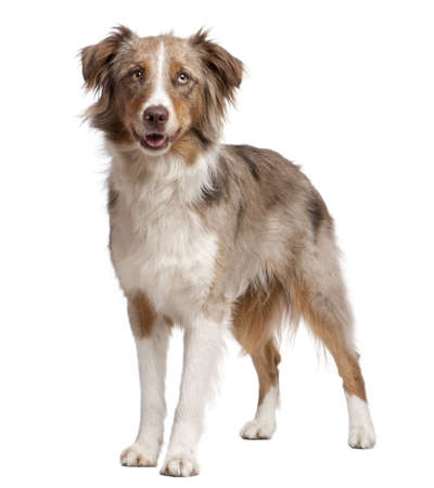 Australian Shepherd dog standing in front of a white background photo