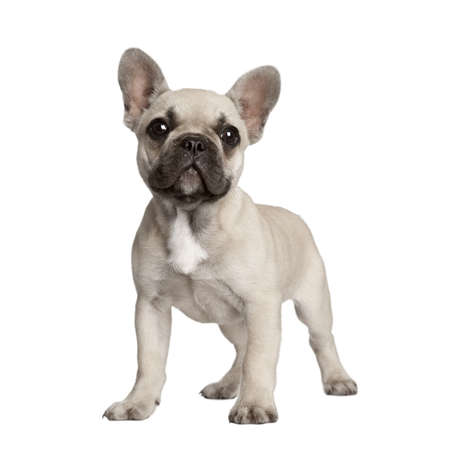 french bulldog puppy: Portrait of French bulldog standing in front of white background